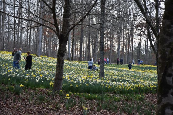 wide shot of daffodils all over a hill